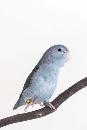 periquito: Malva Forpus, periquito, pájaro en rama y un fondo blanco