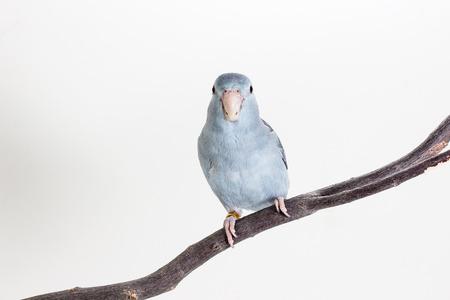 periquito: Malva Forpus, periquito, p�jaro en rama y un fondo blanco
