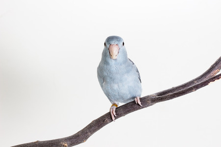 Mauve Forpus, Parakeet, Bird on branch and white background