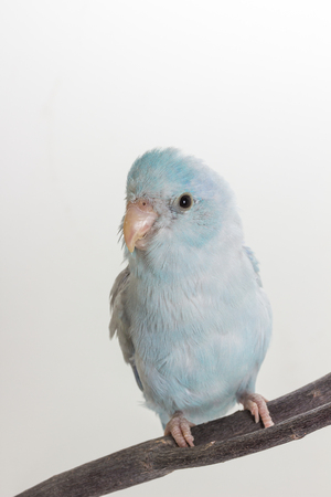 Pastel Blue Forpus Bird on branch and white background