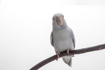White Forpus on the branch and white background Stock Photo