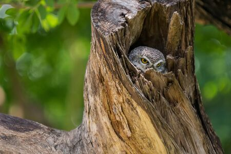 owlet: Asian barred owlet in the big tree