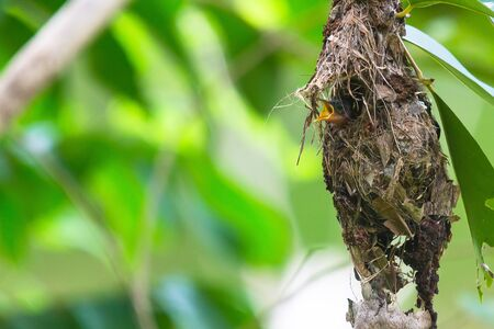 sunbird: Olive-backed Sunbird Feeding Chicks in their nest Stock Photo