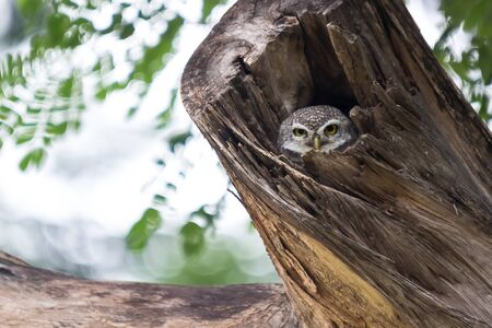 barred: Asian barred owlet in the big tree