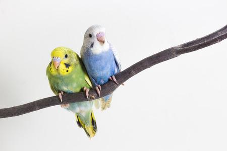periquito: Poco lindo Periquito, Budgie, Pájaro en el fondo blanco