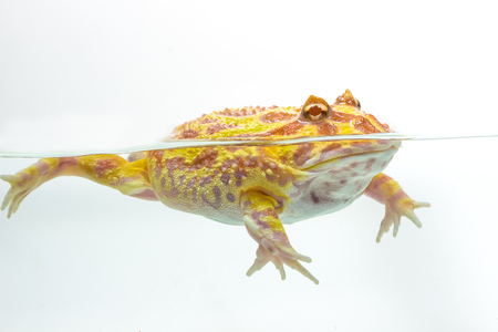 horned frog: Albino Pac-Man Frog, Horned Frog (Ceratophrys ornata) on white background Stock Photo