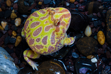 horned frog: Albino Pac-Man Frog, Horned Frog (Ceratophrys ornata) in the tank
