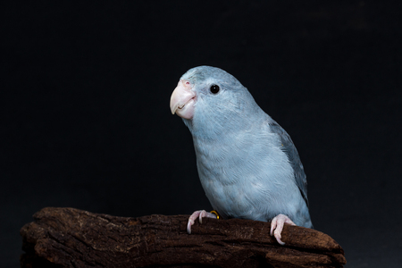 mauve: Mauve Forpus, Parakeet, Bird on black background Stock Photo