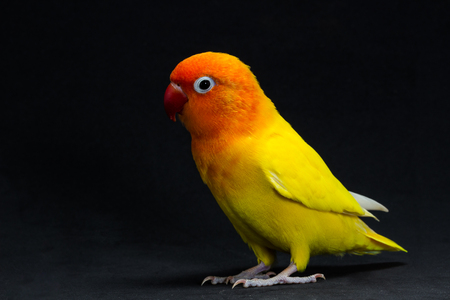 lovebird: Double Yellow Lovebird, Bird in black background Stock Photo