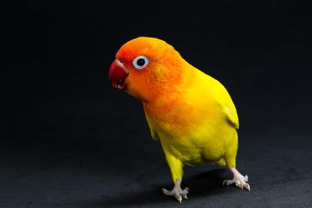 Double Yellow Lovebird, Bird in black background Stock Photo