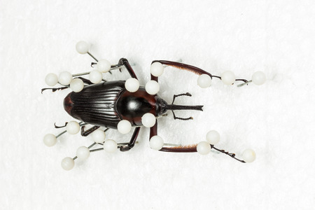 snout: Dried Snout Beetle, Dry Preservation Snout Beetle, pinning on white background