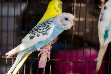 Yellow Budgie,  Budgerigar Birds in the cage Stock Photo
