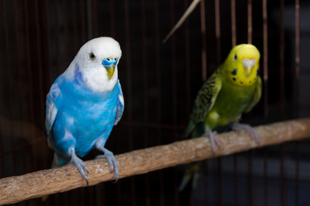 budgerigar: Yellow Budgie,  Budgerigar Birds in the cage Stock Photo