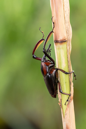 snout: Snout Beetle eating on the plant Stock Photo