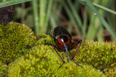 snout: Snout Beetle on the green moss