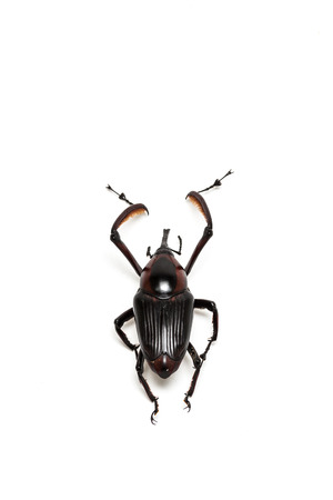 snout: Wild Snout Beetle on white background