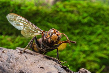 threaten: Orange Wasp, Threaten action on stump wood