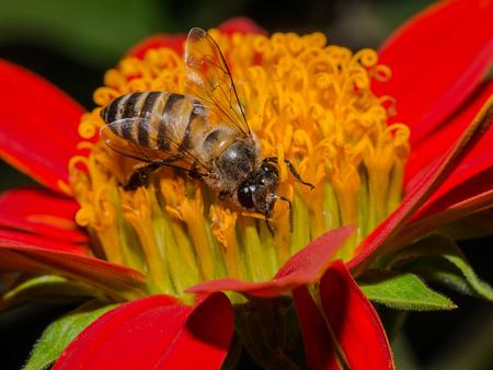 sucking: Honey bee sucking syrup on red flower Stock Photo