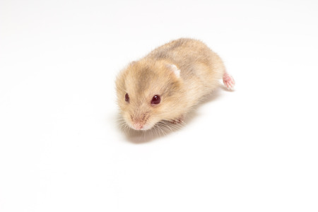 dwarf hamster: Dwarf Hamster, LIttle and Cute Hamster on white background Stock Photo