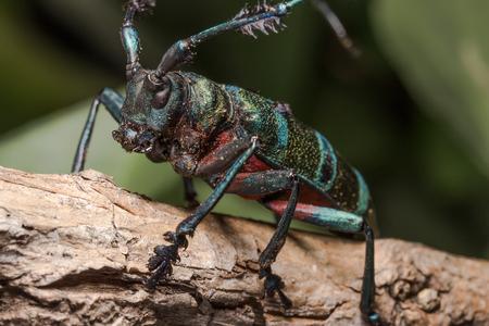 Longhorn beetle (Diastocera wallichi), Beetle in the tree