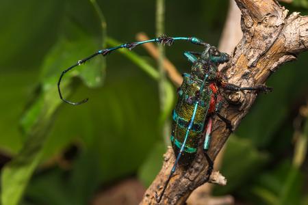 scarabaeidae: Longhorn beetle (Diastocera wallichi), Beetle in the tree