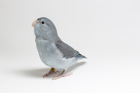 periquito: Mauve Forpus Parakeet, Bird on white background Foto de archivo