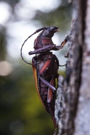 Longhorn beetle (Rhaphipodus fruhstorferi), Beetle on  the tree