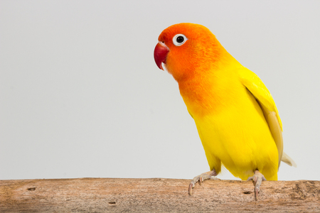 lovebird: Double Yellow Lovebird on branch and white background Stock Photo