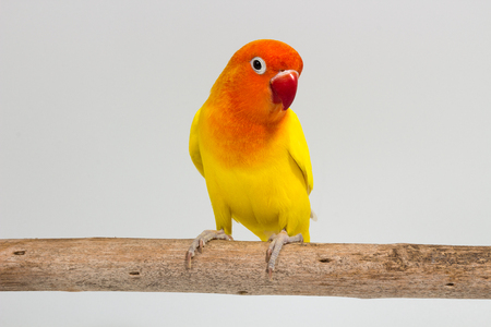 Double Yellow Lovebird on branch and white background Stock Photo