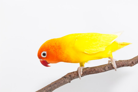 lovebird: Yellow Lovebird on branch and white background Stock Photo