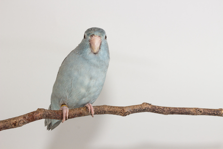 Mauve Forpus bird on branch white background Stock Photo