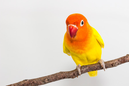 periquito: Lovebird amarillo en rama y un fondo blanco Foto de archivo