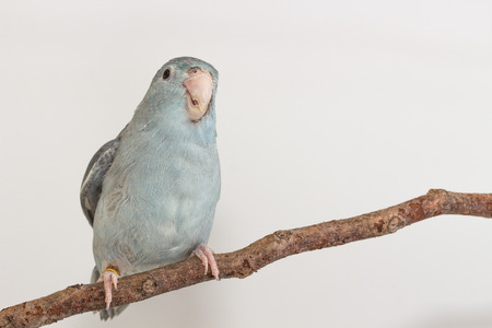 mauve: Mauve Forpus bird on branch white background Stock Photo