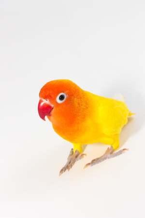 lovebird: Yellow Lovebird standing on white background