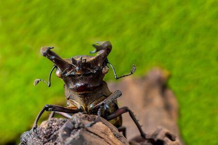 Stag beetle (Lucanus fairmairel) on the stump wood