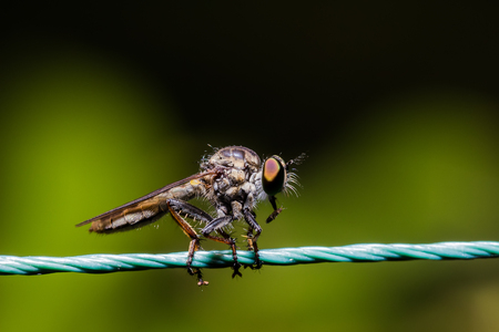 assassin: Robber Fly, assassin fly (Asilidae) on the rope