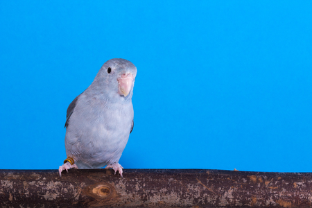 Mauve Forpus, Parakeet, Bird on the branch in blue background