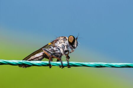 asilidae: Robber Fly, assassin fly (Asilidae) on the rope