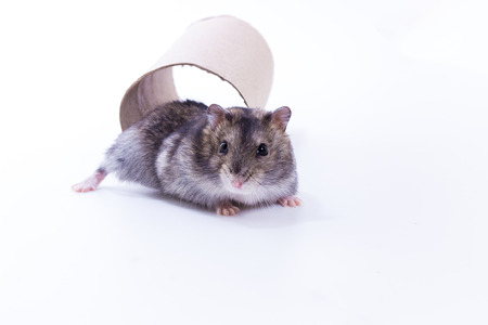 Little and Cute Hamster on white background