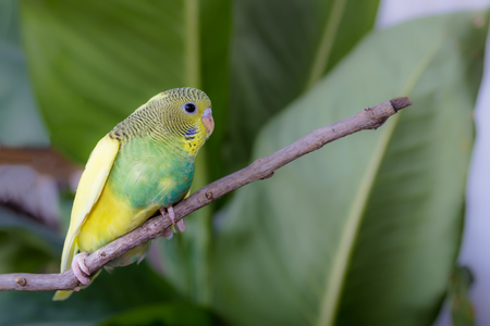 budgerigar: Little Cute Budgerigar on the branch Stock Photo