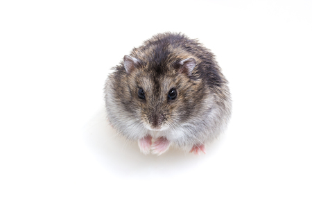Normal Color of Winter White Hamster on white background Stock Photo