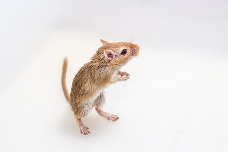 Mongolian gerbil, Desert Rat on white background