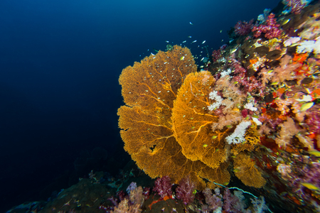 seafan: Underwater scape of big seafans at Myammas sea Stock Photo