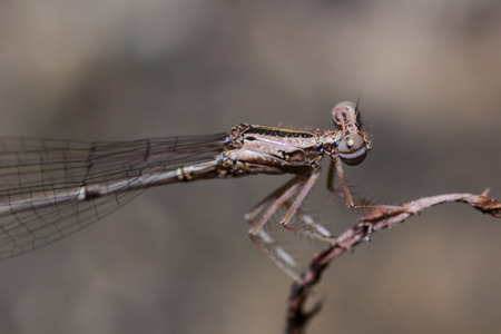 zygoptera: The Brown Damselfly (Zygoptera) on the plant