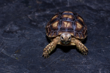 Sulcata baby turtle on the black floor
