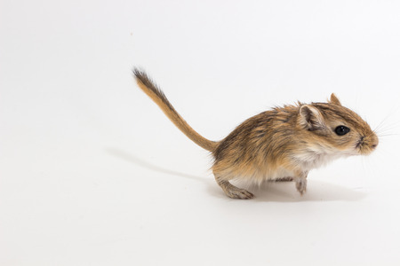Litter Mongolian gerbil, Desert Rat on white background