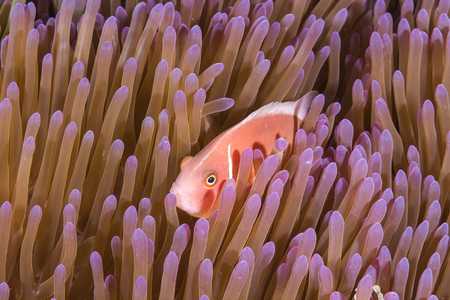 pink anemonefish: Underwater picture of Pink Skunk Clownfish (Amphiprion perideraion)
