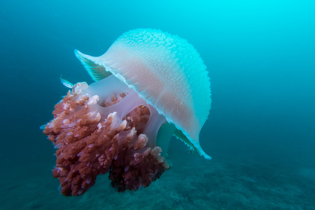 travler: underwater picture of the big jelly fish in the deep of the sea