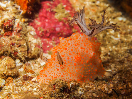 nudi: Underwater picture of Halgerda batangas Nudibranch, Sea Slug