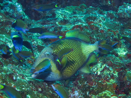 triggerfish: Titan triggerfish in the cleaning station in the coral reef